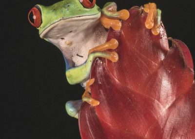 Red Eyed Tree Frog-Ian Waite