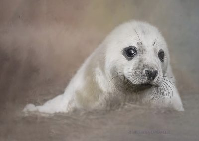 12 Seal Pup-Chantal Cooper