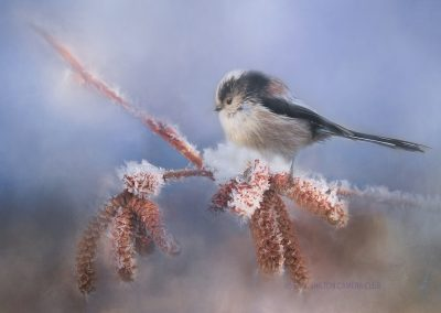 1 Long Tail Tit-Chantal Cooper