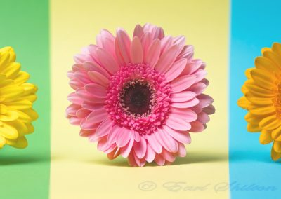 17 Gerbera Daisies-Paul Steans