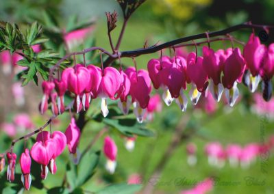 26 Dicentra-Alan Wardropper