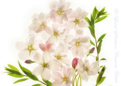 8 Bouquet Of Cherry Blossom Flowers-Julie Holbeche-Maund