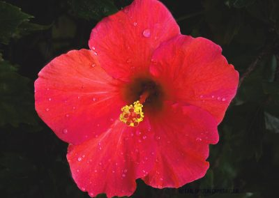 Hibiscus-Geoff Whitelocks