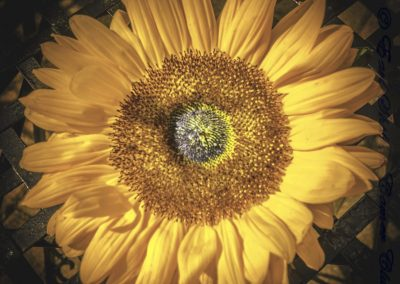 Helianthus Annuus-John Smith