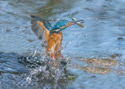 Kingfisher-Ian Waite
