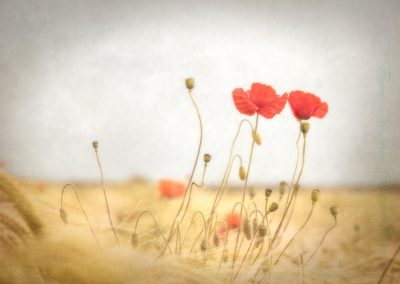 16 Poppies-Julie Holbeche-Maund Lrps