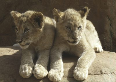 35 Lion Cubs Enjoying The Sun-Debbie Lowe