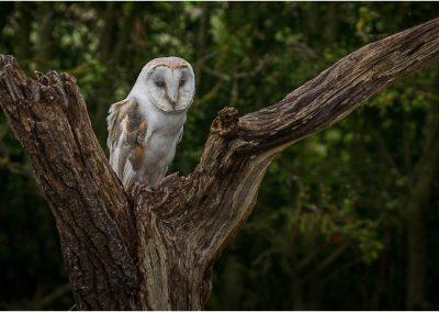 02 (39) Male Barn Owl - Ian Waite - Scored 22.41