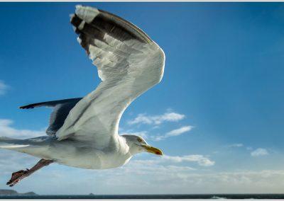 03 (26) Herring Gull In Flight - Gary Wood - Scored 22.22