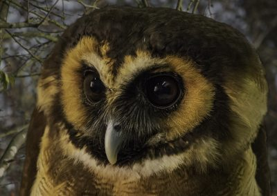 13 (42) Masked Owl - Alan Wardropper - Scored 20.73