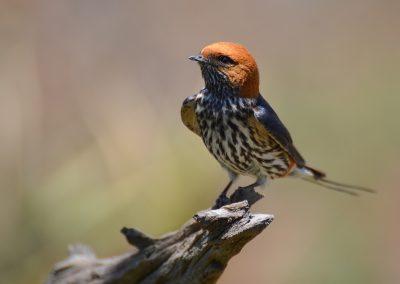 14 (36) Lesser Striped Swallow - Debbie Lowe - Scored 20.62