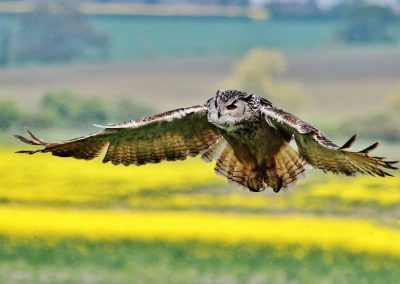 16 (38) Low Flying Eagle Owl - Martin Hall - Scored 20.54