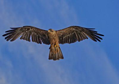 18 (34) Kite - Steve Pears - Scored 20.38