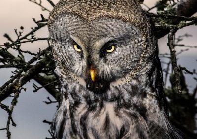 21 (19) Great Grey Owl - Alan Wardropper - Scored 20.22
