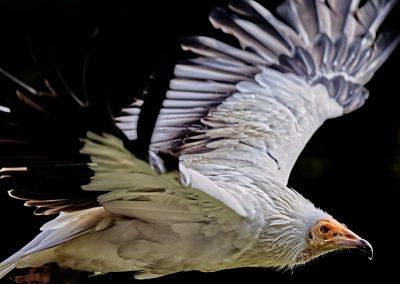 23 (13) Egyptian Vulture - Steve Pears - Scored 20.19