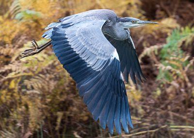 23 (23) Heron At Bradgate - Peter Lawrance - Scored 20.19
