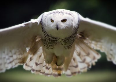 25 (50) Snowy Owl - David Whitehouse - Scored 20.16