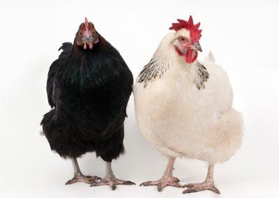 28 (11) Chickens - John Denny - Scored 19.49