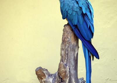29 (8) Blue And Yellow Macaw - Michael Dawe - Scored 19.43