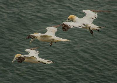 31 (18) Gannets Flying In Formation - Margaret Waterson - Scored 19.38