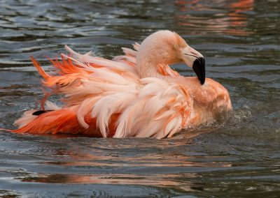 42 (17) Flamingo Looking A Bit Ruffled - Margaret Waterson - Scored 17.76