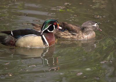 49 (58) Wood Ducks - Robin Astle - Scored 16.21