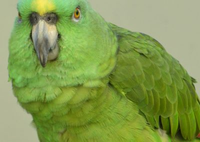 50 (3) Amazon Parrot - Brett Lawrence - Scored 16.19