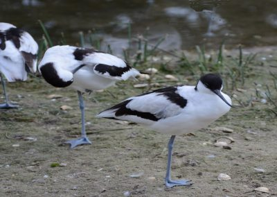 52 (4) Avocets In A Row - Trevor England - Scored 15.68