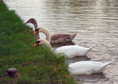 57 (1) 3 Swans A Feeding - Allan Simms - Scored 13.95