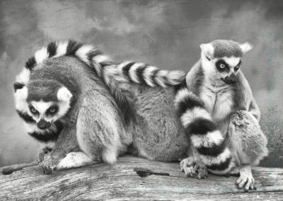 22 Ring Tail Lemurs-Chantal Cooper 20.39