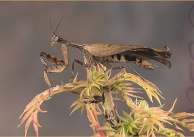 01 (40) Praying Mantis-Ian Waite - 23.06