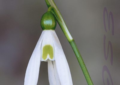 09 (44) Snowdrop-Margaret Waterson - 20.97