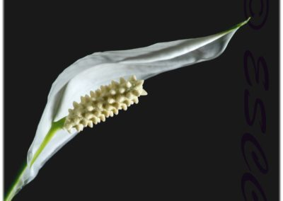 35 (37) Peace Lily (Spathiphyllum Wallisii)-Paul Steans - 18.03