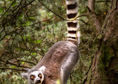 18 Ring Tailed Lemur - Rob Jones