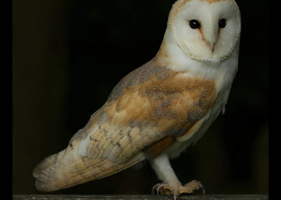 26 Barn Owl - Trish Rudin