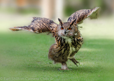 29 Eurasian Eagle Owl - Chantal Cooper