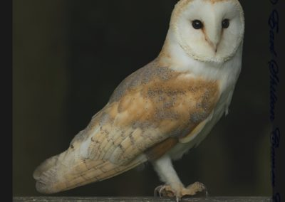 Barn Owl-Trish Rudin
