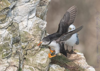 Puffin At Bempton Cliffs-Loz Waterson