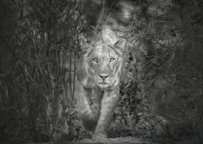 A Preditors Stare-Phil Mallin