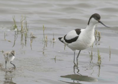 Avocet And Chick-Isobel Chesterman
