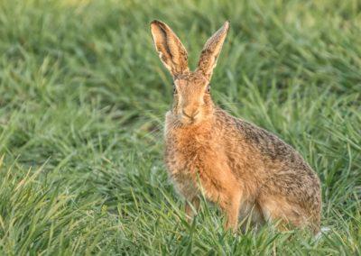 Barwells Brown Hares-Steve Bexon