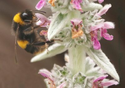 Bee On Stachys-Ian Waite