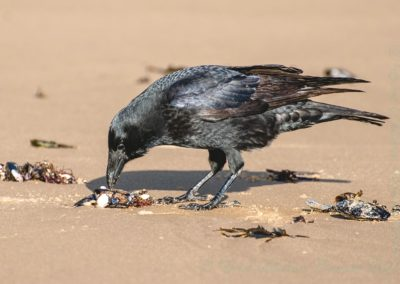 Carrion Crow At Low Tide-John Dennye