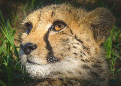 Cheetah-Debbie Lowe