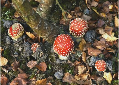 Fly Agarics-Alan Cook