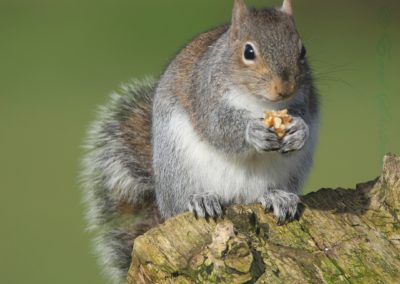 Grey Squirrel-Gary Wood