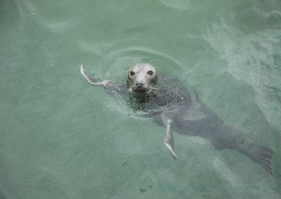 Harbour Seal St Ives-Margaret Waterson