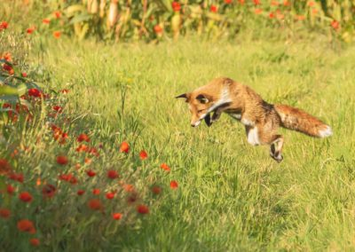 Jumping Fox-Chantal Cooper