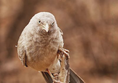 Jungle Babbler-Steve Pears