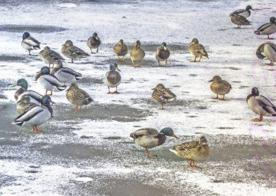 Mallards On Ice-John Smith